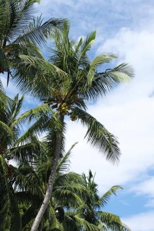 Asian Coconut Trees photo