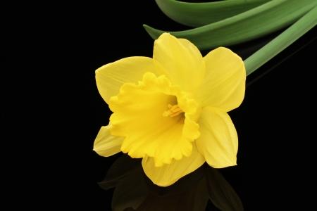 Daffodil On A Black Background