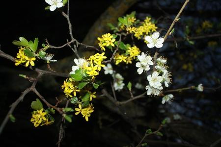 White and yellow flowers at night stock photo picture and royalty stock photo white and yellow flowers at night mightylinksfo
