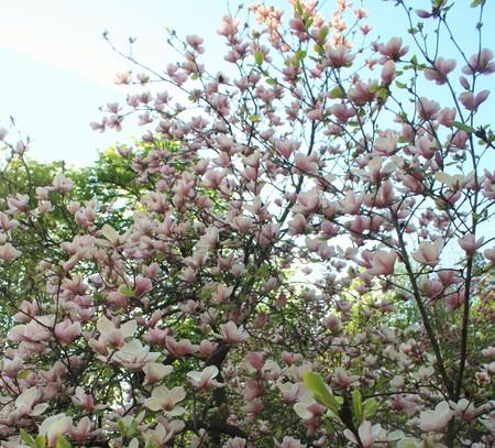 magnolia flowers: Magnolia flowers in the park Stock Photo