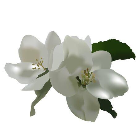 pistil: Apple tree vector blossom with green leaves