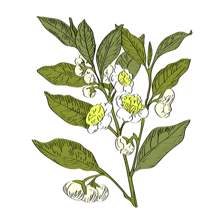Vector drawn green tea with flowers on white background in a sketch style. Exotic collection.