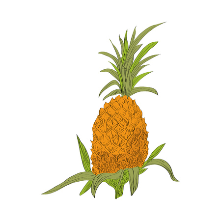 springtime: Vector drawn pineapple on white background in a sketch style. Exotic collection.