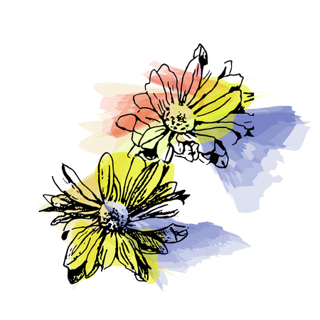 Hand drawn vector chrysanthemum, sketch on watercolor background.