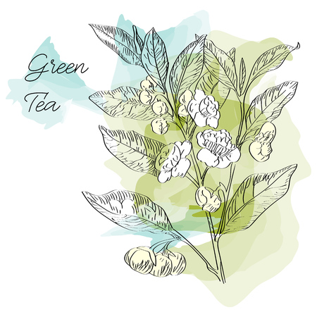 Vector drawn green tea with flowers on watercolor background in a sketch style. Exotic collection.