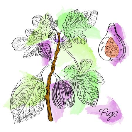Vector gezeichnete Feigen auf Aquarellhintergrund in einer Skizzenart. Exotische Sammlung. Standard-Bild - 80713509