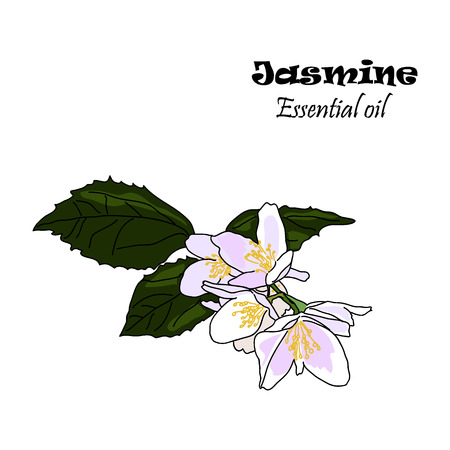 Vector drawn jasmine flowers with leaves. Essential oil design. Package design idea.