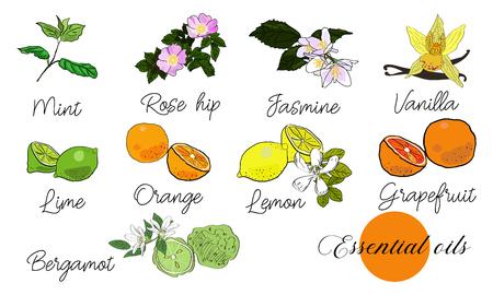 Vector drawn essential oils design set. Package design idea. Mint, rose hips, jasmine, vanilla, lime, orange, lemon, grapefruit, bergamot.