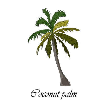 Vector drawn coconut palm tree on white background in a sketch style. Exotic collection. Иллюстрация