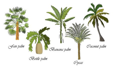 Vector drawn set of bottle, fan, coconut, banana palm, cycas tree on white background in a sketch style. Exotic collection. Фото со стока - 110172696