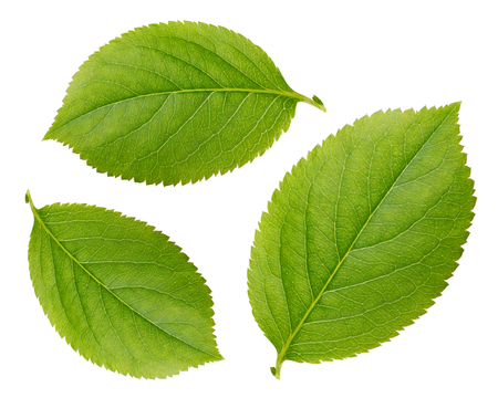 Chokeberry leaves isolated on white background Stock Photo