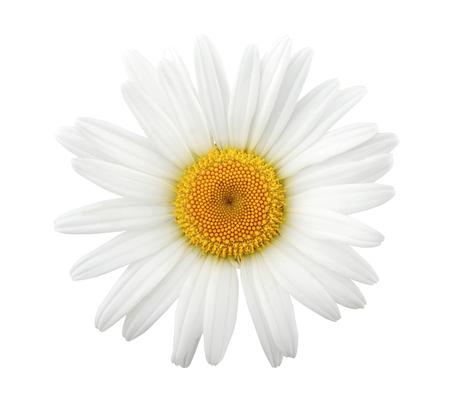 One daisy isolated on white background