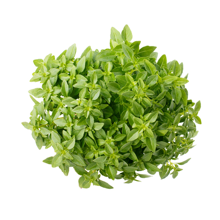 Greek dwarf basil isolated on white background
