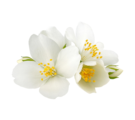 Jasmine flowers isolated on white background without shadow