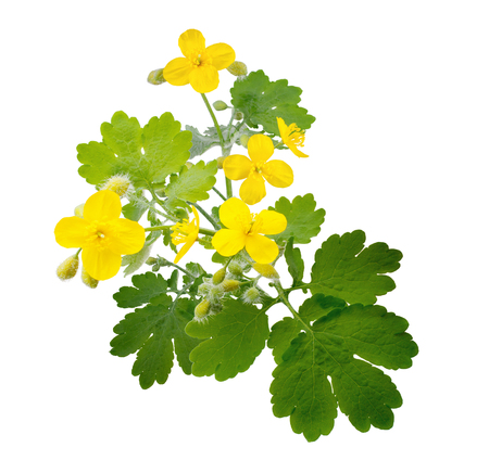 Celandine flowers isolated on white background