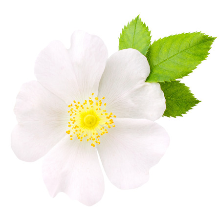 Rosehip flower isolated on white background close up Standard-Bild