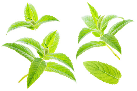 Mint leaves isolated on white background Banco de Imagens - 122769633