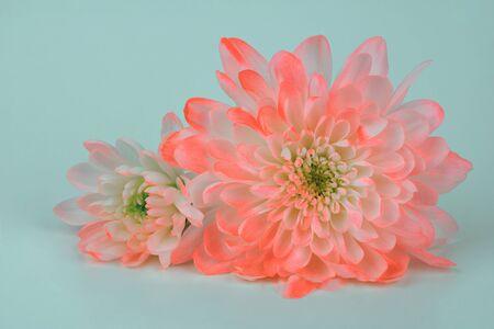 Flores de crisantemo sobre fondo azul.