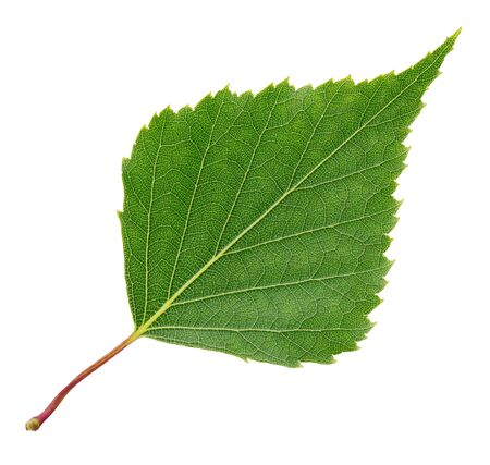 Leaf of birch tree isolated on white background