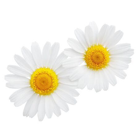 Camomilla o fiori di camomilla isolati su sfondo bianco
