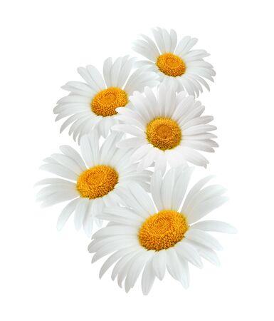 Chamomile or camomile flowers isolated on white background Zdjęcie Seryjne