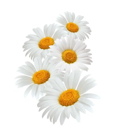 Chamomile or camomile flowers isolated on white background Stock Photo