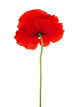 One single red poppy flower isolated on white background Foto de archivo