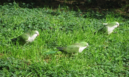 quaker: Quaker Parrot  Monk Parakeet  on ground