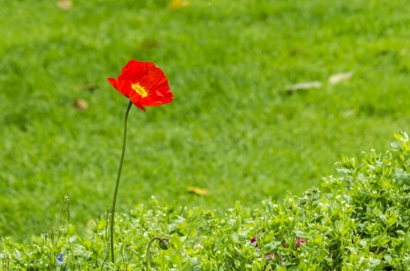 closeup of red poppy on green field photo