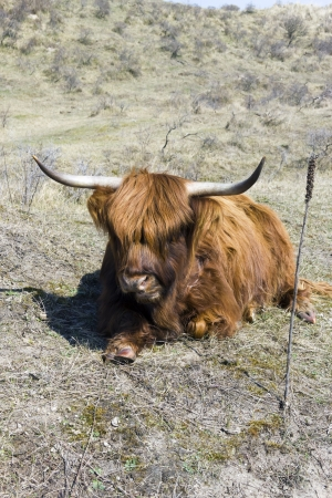 Cattle scottish Highlanders, Zuid Kennemerland, Netherlands photo