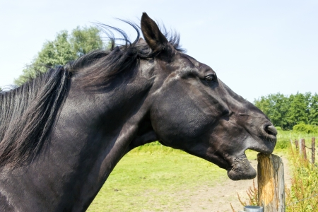 hitching post: horse sharpens its teeth on a wooden pole Stock Photo