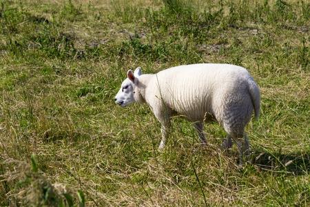 dike: Sheeps at a dike, the Netherlands