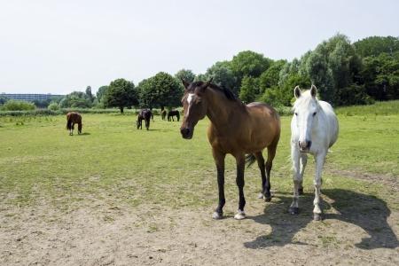 hitching post: herd of horses Stock Photo