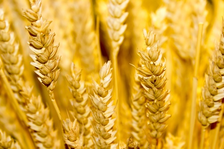 gold wheat ears background photo