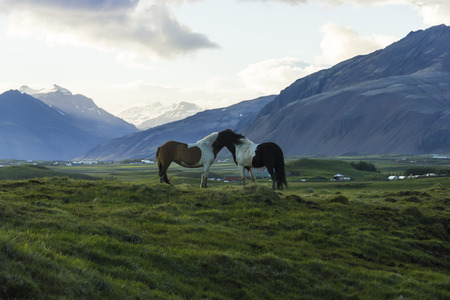 The Iceland horse, or even Icelanders Icelandic horse called, is a native of Iceland, versatile and sturdy ponies.