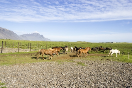 squabble: funny horses in the fields of Iceland Stock Photo