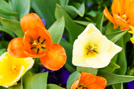 Colorful tulips. View is from the top photo
