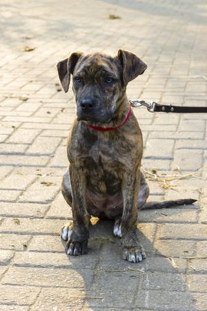 piebald: picazo de pelo corto cachorro catahoula bulldog sentado Foto de archivo