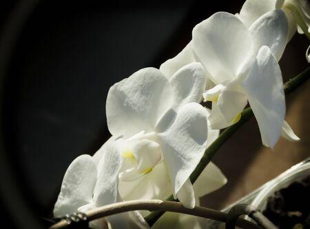 orchidea: White orchidea on the dark background