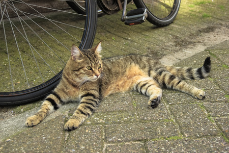 Tabby red cat laying near a bike on Amsterdam street Stock Photo