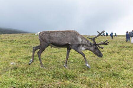 Cairngorm mountains, United Kingdom - July 27, 2019: The Cairngorm Reindeer Herd is Britains only free-ranging herd of reindeer found in the Cairngorm mountains in Scotland. Reklamní fotografie