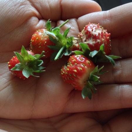 handful: Handful of homegrown strawberries