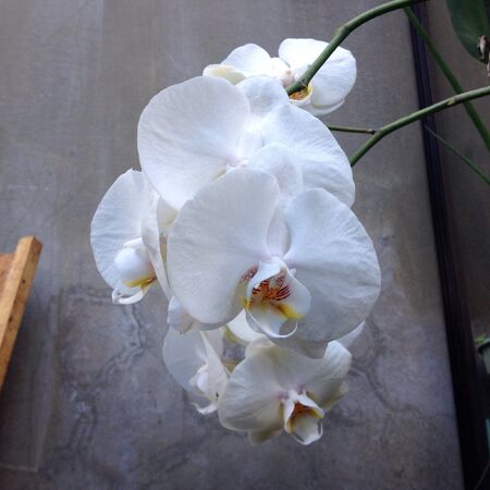 white: Blossoming white orchids