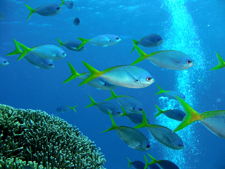 barrier: Great Barrier Reef - Yellowback Fusilier Stock Photo