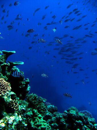 Great Barrier Reef - School of Fish