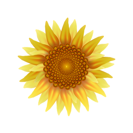 Yellowbrown sunflower on a white background.
