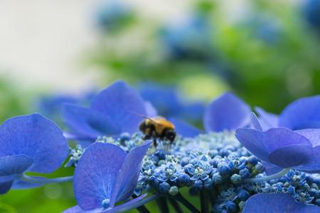 hydrangea and bee