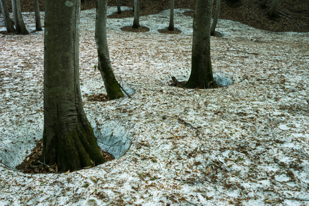 Beech forest where remaining snow remains Stok Fotoğraf - 97766109
