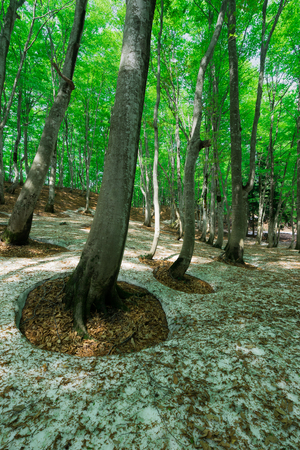 Beech forest where remaining snow remains Stok Fotoğraf - 97766107