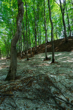 Beech forest where remaining snow remains Stok Fotoğraf